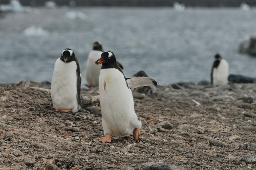 Ein ehrlicher Pinguin.