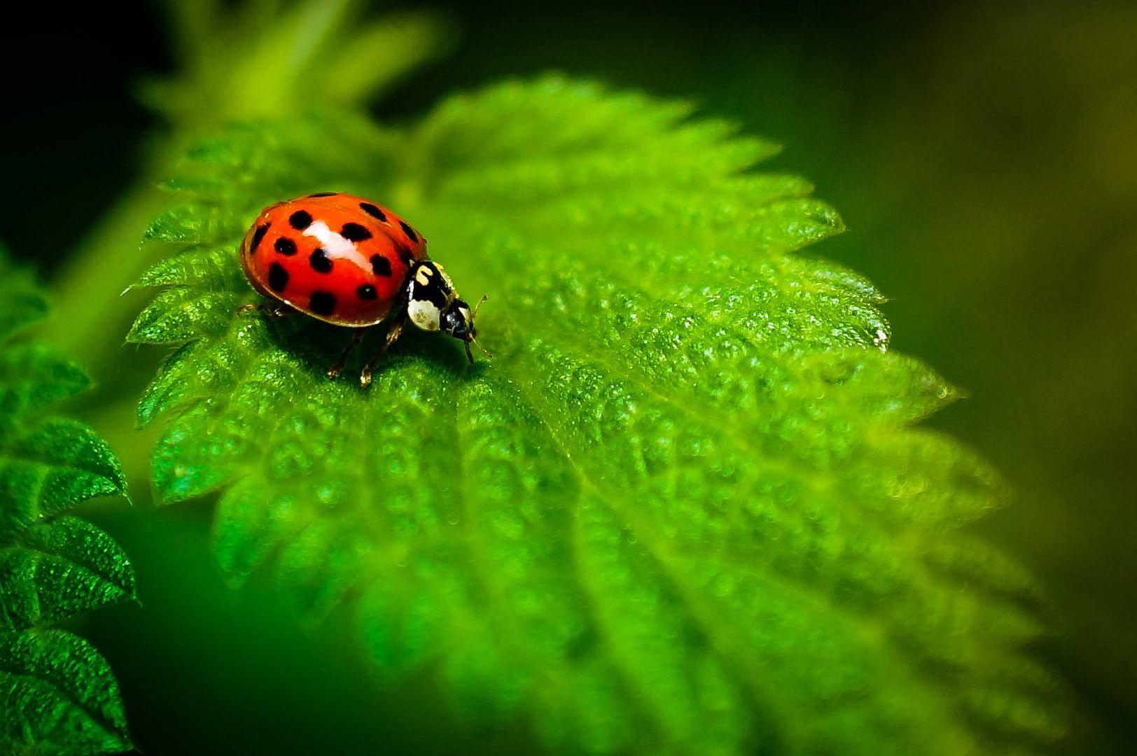 Ein einsamer Marienkäfer