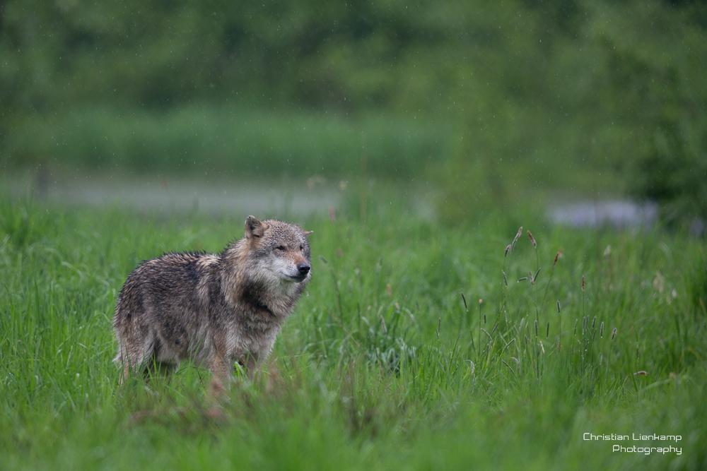 ein einsamer Wolf