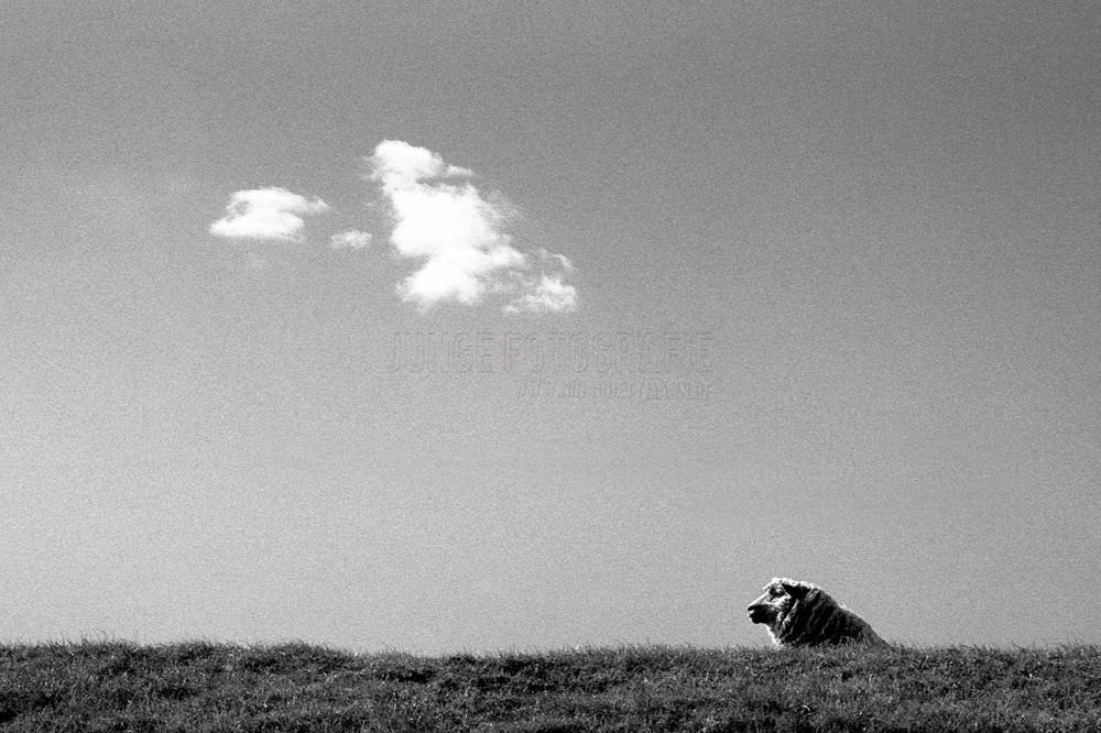 ein einsames Schaf