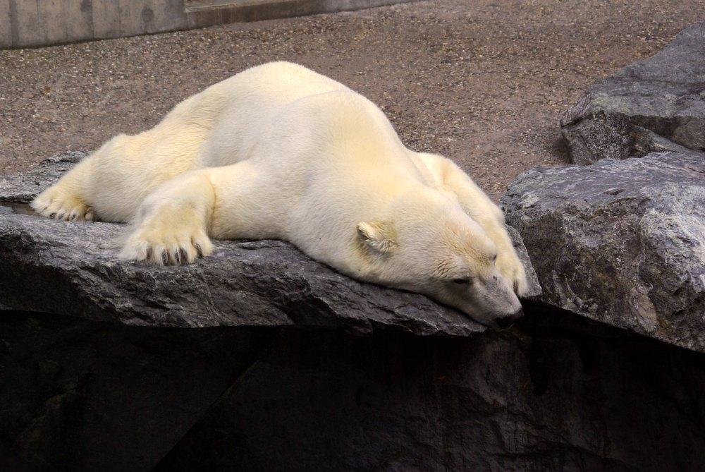 Ein Eisbär hats schwer ...