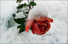 Ein eiskaltes Mittwochsblümchen...