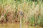 Ein Eisvogel im Dutch Kanal in Sri Lanka