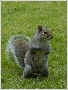 """"""" Ein englisches Eichhörnchen """""""