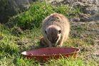 Ein Erdmännchen beim fressen