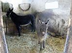 Ein Esel ist uns geboren