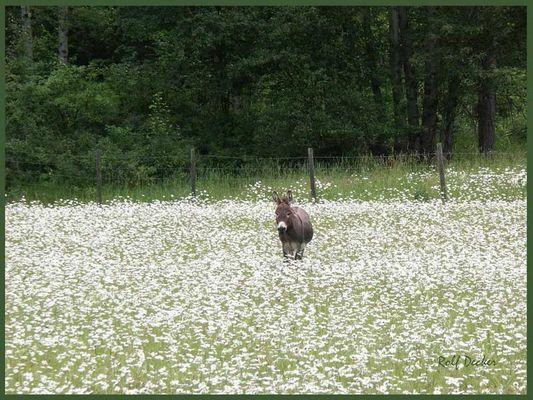 Ein Esel, wer keine Blumen für die Liebste findet