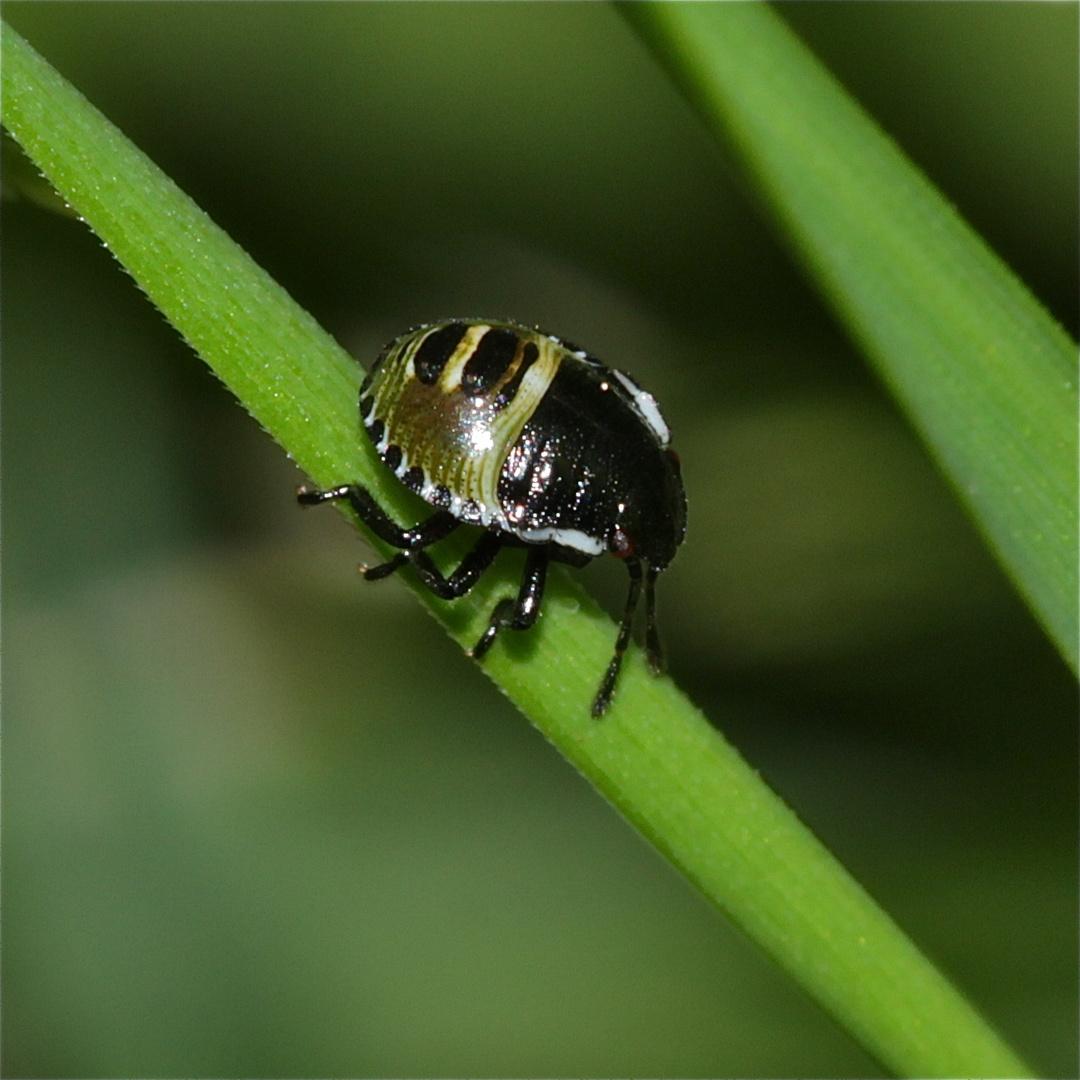 Ein etwa 3 mm langer Zwerg - Wanzenlarve (Palomena sp.?)