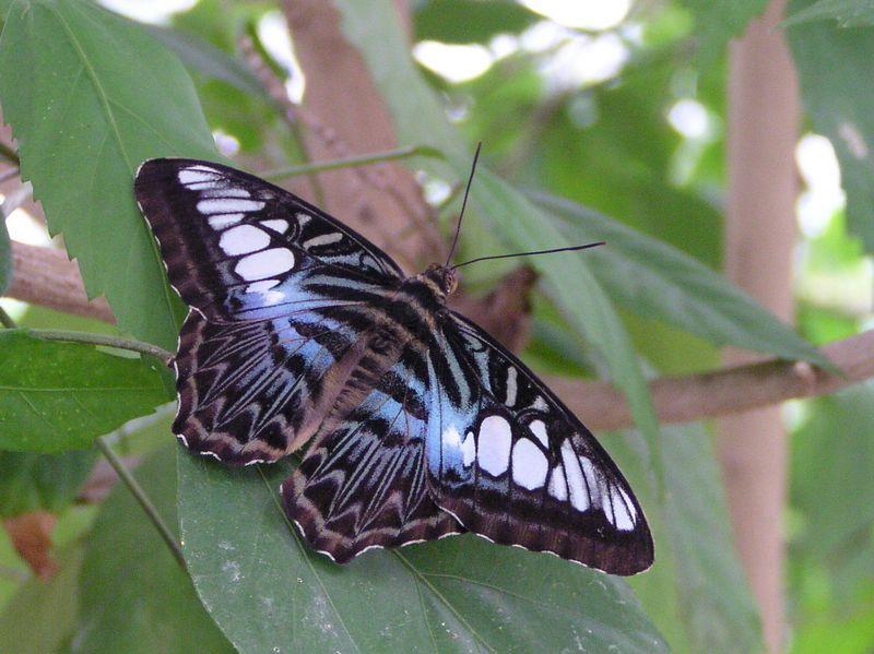 Ein Exot unter den Schmetterlingen