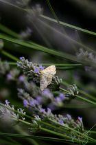 Ein Falter am Lavendel naschen