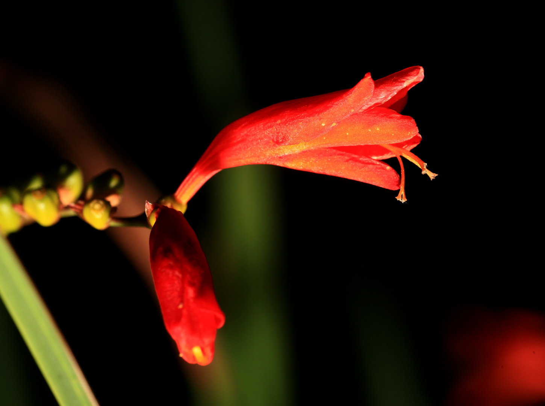 Ein Feuerroter Blütendrache ;-)