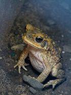 """ein """"FF""""- Fiji Frog"""