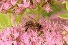 Ein fleißiges Bienchen bei der Arbeit