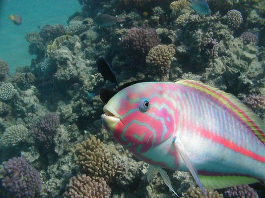 Ein fotogener Papageienfisch