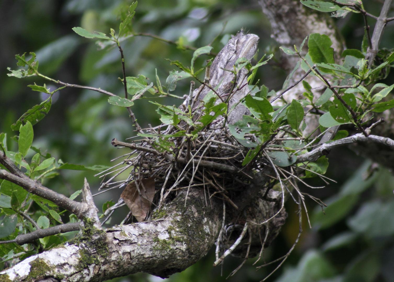 ein frogmouth auf seinem nest