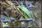 Ein Frosch am Ufer