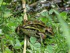 Ein Frosch auf Fehmarn