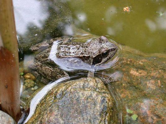 Ein Frosch in unserem Teich