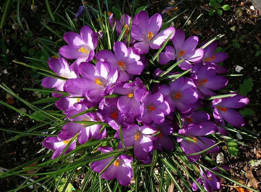 ein fr hlingsstrau in violett foto bild pflanzen pilze flechten bl ten kleinpflanzen. Black Bedroom Furniture Sets. Home Design Ideas