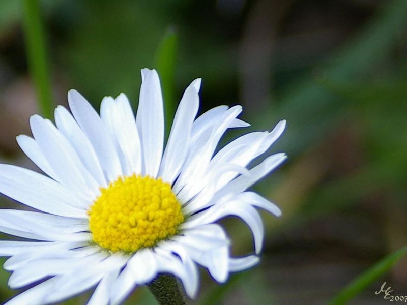 Ein Gänseblümchen