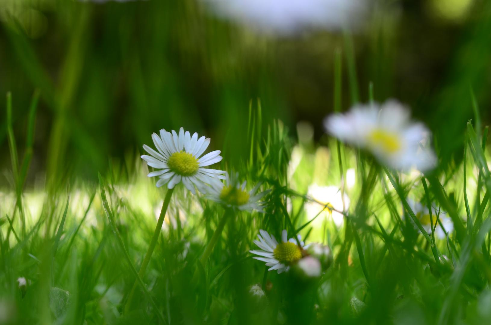 Ein Gänseblümchen im Gras