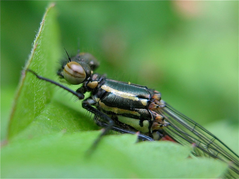 Ein ganz frisches Weibchen der Frühen Adonislibelle (Pyrrhosoma nymphula) . . .