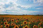Ein ganzes Feld voll Sonne