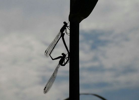 ein ganzes Libellenrad gegen die Sonne