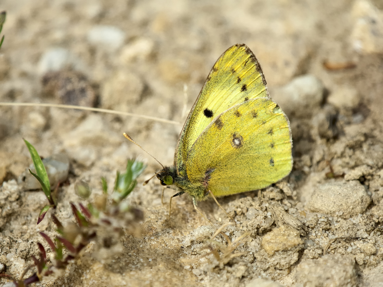 ein Gelbling ( Colias .......)