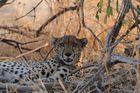 Ein Gepard im Ruaha Nationalpark