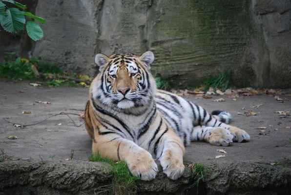 Ein gestreifter im Zoo