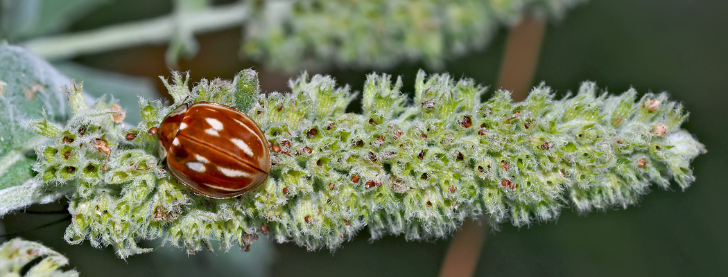Ein Glückskäfer! Längsstreifiger Marienkäfer (Myzia oblongoguttata) - Coccinelle zébrée.