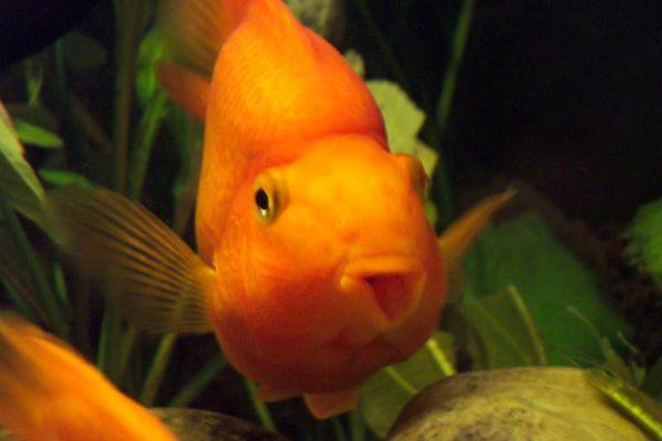 Ein goldener Fisch