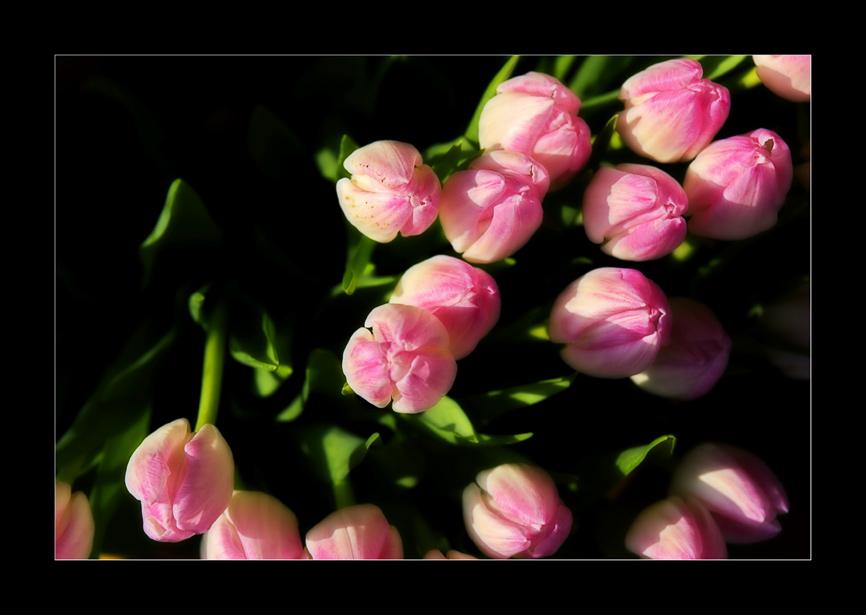 Ein Gruss an alle die Tulpen lieben