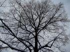 Ein Hauch von Schnee auf dem  Geäst des Baumes  vor meinem Haus.