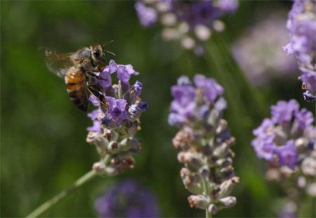 Ein herrlicher Duft. Findet nicht nur die Biene...