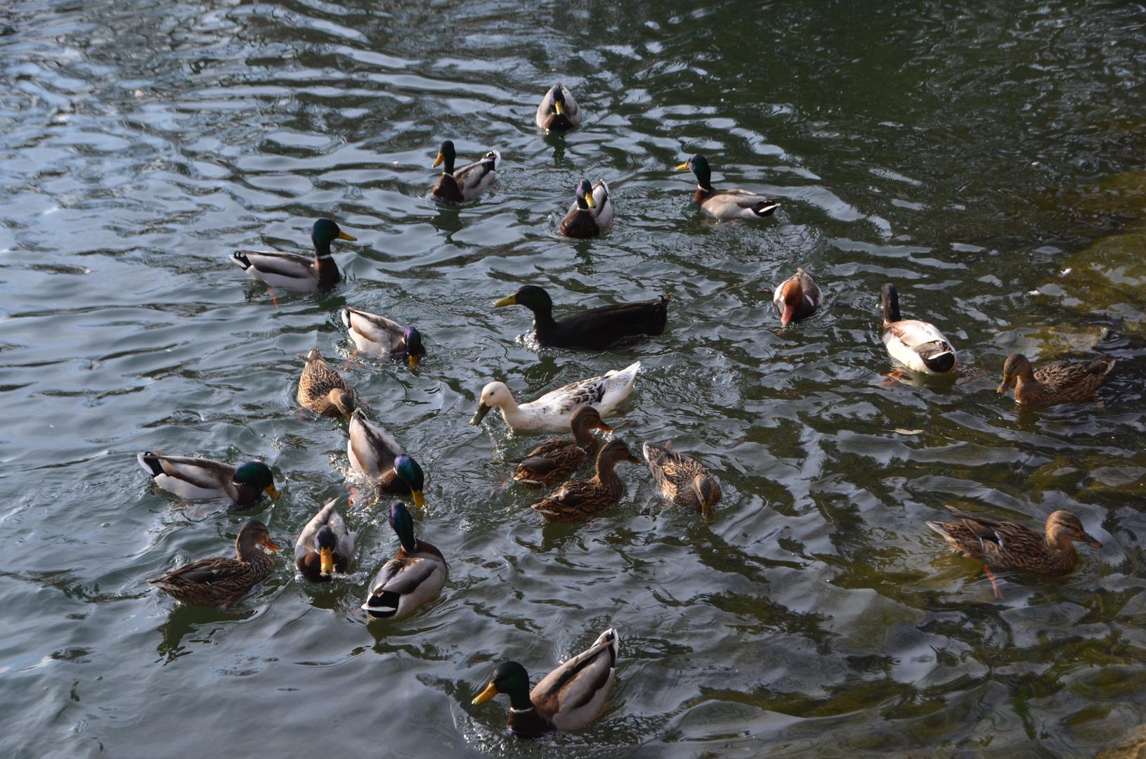Ein Herz aus Enten :)