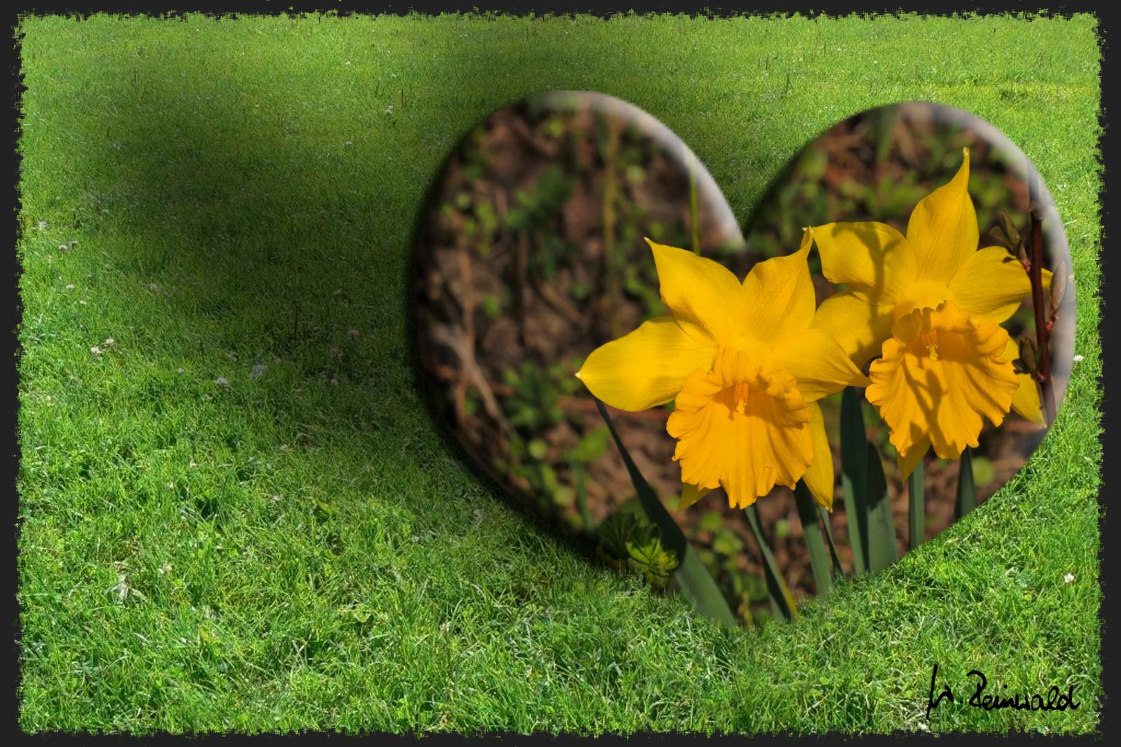 ein Herz für Osterglocken
