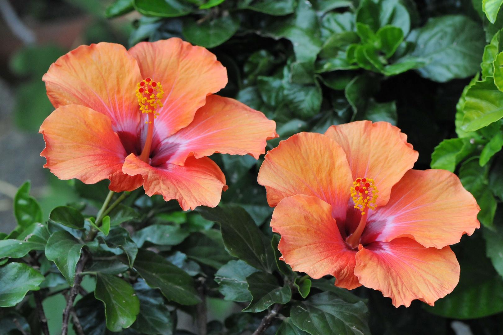 Ein Hibiscus-Pärchen