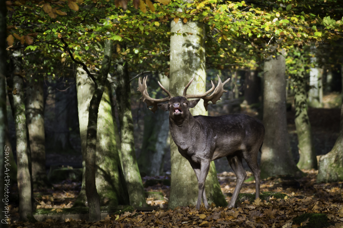 Ein Hirsch auf der Balz...besser nicht stören :-)