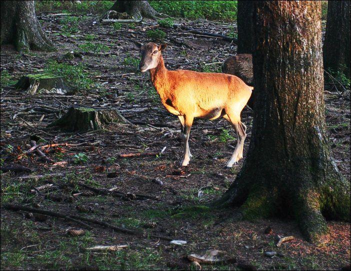 Ein Hirsch, erstaunt ob seiner Erleuchtung.