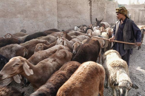 Ein Hirtenjunge aus QARA YATIM
