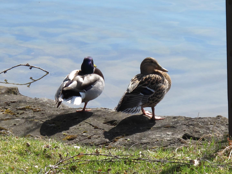 Ein hüpsches Entenpärchen