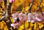 ein Hummel auf der Kirschblüte