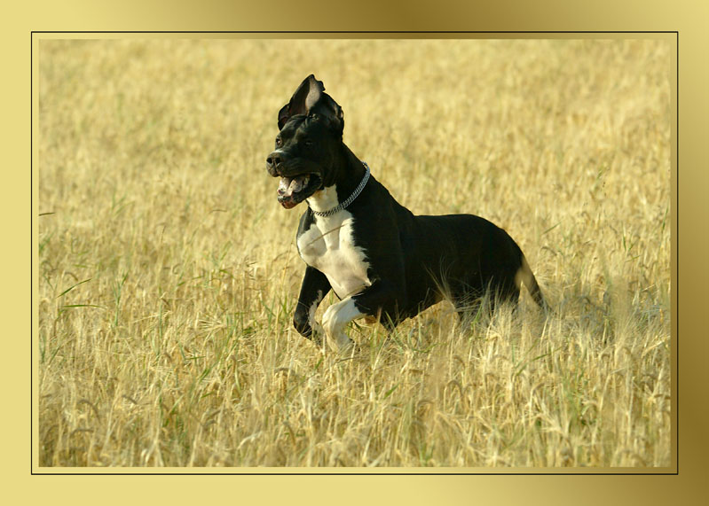 Ein Hund im Kornfeld...