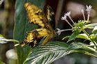 Ein hungriger Schmetterling ...