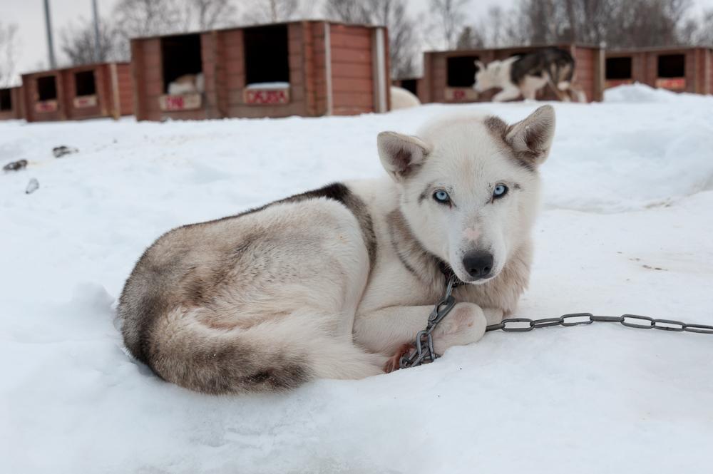 Ein Husky auf einer Hundeschlitten Farm in Norwegen