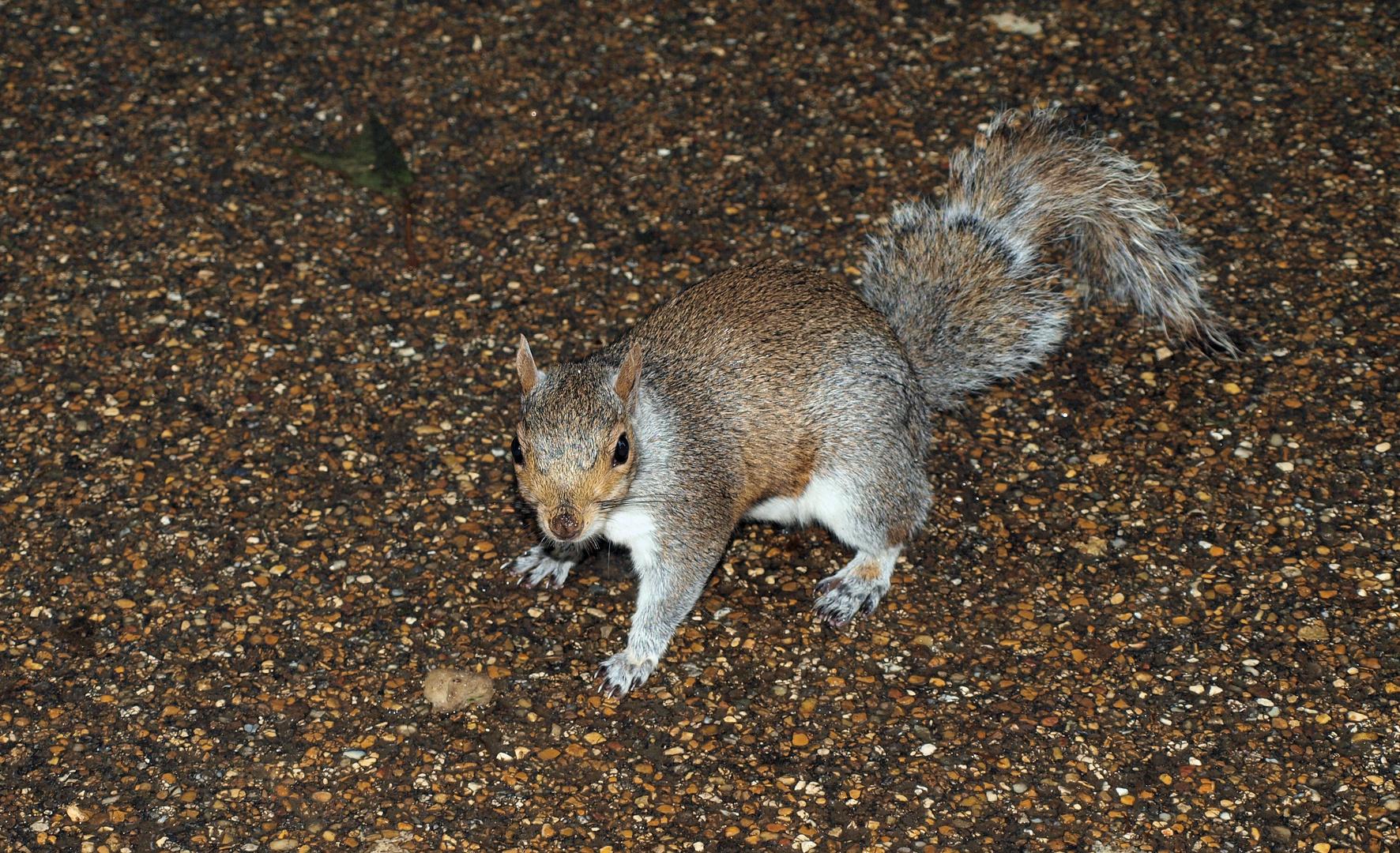 Ein in England genanntes squirrel bei uns Grauhörnchen ;)
