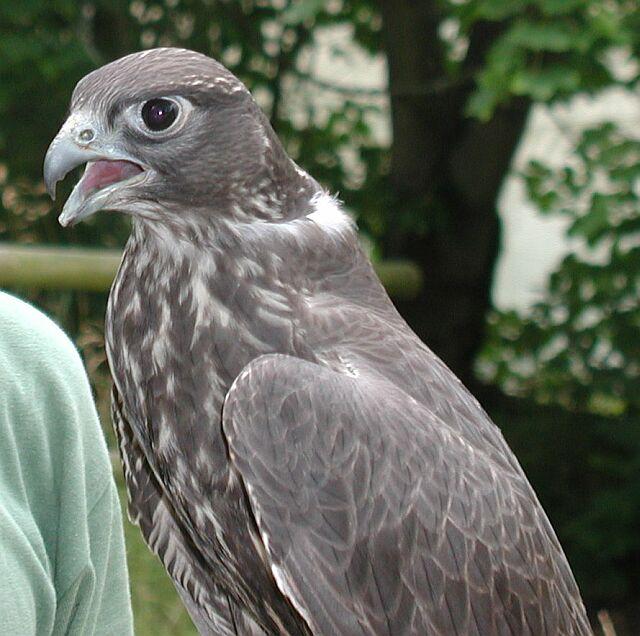 ein Indischer Falke (wenn ich den Falkner richtig verstanden habe)