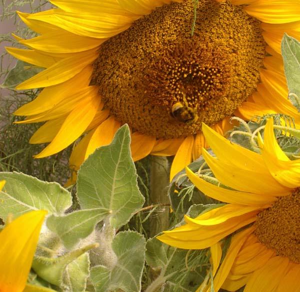 Ein Insekt beim Naschen in einer Sonnenblume